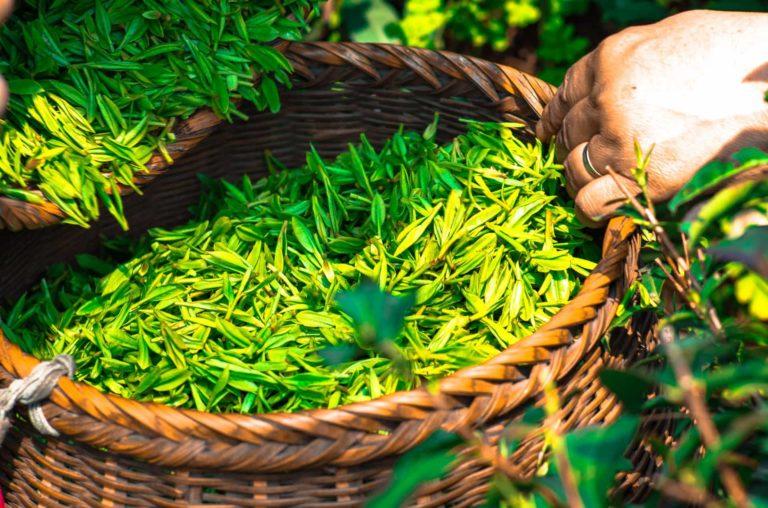 筋トレと 緑茶 (EGCG)で筋肥大と脂肪燃焼を加速させる