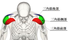 解剖学三角筋