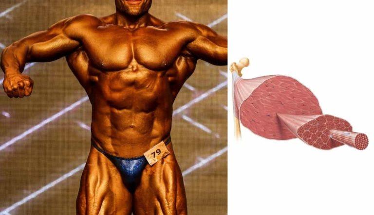 ボディビル大会前の減量期間中に 筋肉はどれだけ減るか